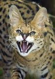 serval Στοκ Φωτογραφίες