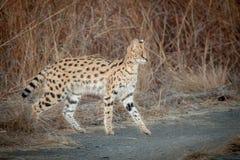 Serval Royaltyfri Foto