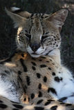 Serval. Close up photo on  male Stock Photo