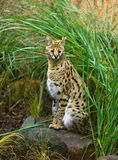 Serval Fotos de Stock Royalty Free