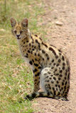 Serval royalty free stock photography