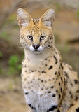 Serval Images stock