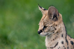 Serval Royalty Free Stock Images