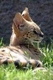 serval Στοκ εικόνα με δικαίωμα ελεύθερης χρήσης