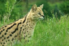 Serval 2. Serval in long grass looking to his front stock image
