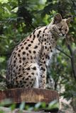 Serval Stock Images