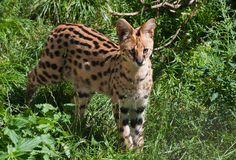 Serval Foto de Stock Royalty Free