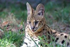 serval Стоковое Фото