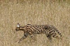 serval Στοκ φωτογραφία με δικαίωμα ελεύθερης χρήσης