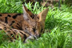 Serval Stock Image