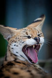 Serval   Photographie stock
