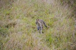 Serval Arkivfoto