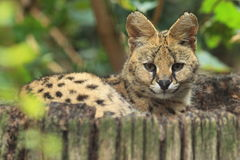 Serval lizenzfreies stockbild
