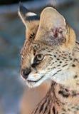 Serval Fotografia Stock