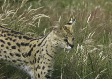 Serval Image stock