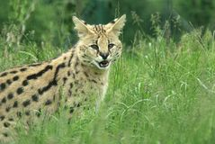 Serval. In long grass looking out Royalty Free Stock Photo