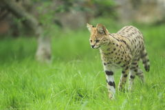 Serval image stock