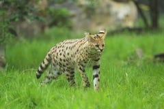 Serval stockbilder