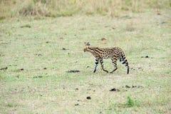 Serval Royaltyfria Bilder