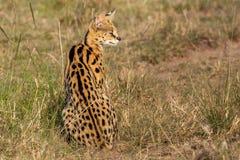 Serval Royalty-vrije Stock Afbeelding