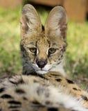 Serval Royalty-vrije Stock Afbeeldingen
