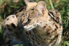 Serval Royaltyfri Bild
