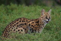 Serval. A serval cat in South Africa Stock Photo