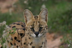 Serval. A serval cat in South Africa Royalty Free Stock Photography