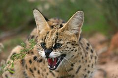Serval. A serval cat in South Africa Royalty Free Stock Images