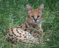 Serval Imagens de Stock