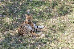 Serval Royaltyfria Foton
