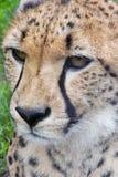 serval Стоковые Изображения