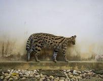 Serval Στοκ Εικόνα