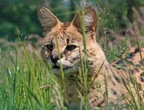 serval Στοκ εικόνες με δικαίωμα ελεύθερης χρήσης