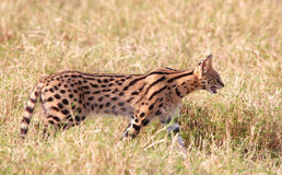 Serval africain (serval de Leptailurus) Photographie stock