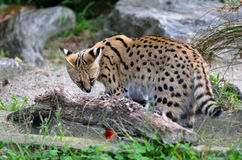 Serval - African wild cat Stock Photography