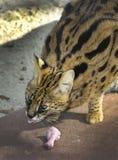 Serval africano - comida de los guardias Fotos de archivo libres de regalías