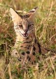 Serval africano (serval di Leptailurus) Immagini Stock Libere da Diritti