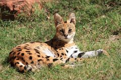 Serval - Afrika-wilde Katze Stockbild