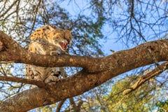 Serval aggressivo Sudafrica immagini stock libere da diritti