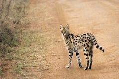 Serval auf der Straße, welche die Kamera betrachtet Stockfotos