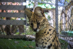Serval. Beautiful serval cat in object photoshoot Stock Photos
