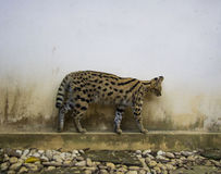 Serval Stock Image