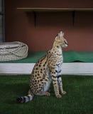 Serval Stock Photos