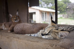 Serval and caracal cat Royalty Free Stock Images