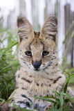 Serval and caracal cat Stock Photography