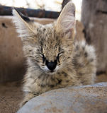 Serval and caracal cat Royalty Free Stock Photos