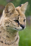 Serval cat Stock Photos