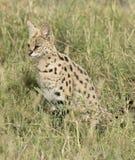 Serval cat. Africa, Tanzania Serengeti National Park,Serval cat stock photo