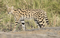 Serval cat Royalty Free Stock Photos